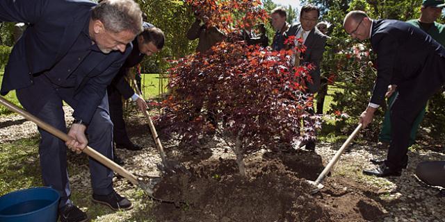 posađena 22. sadnica japanske trešnje
