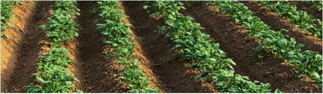 1.70 Kn po Kg,Prodaje se krumpir marbel, sorta laura i dezire. Krumpir je najklvalitetniji za kulinarstvo te vrlo kvalitetan za prodaju po tržnicama.  Okolica Čazme. Tel. 0989327661 ili 043778014.