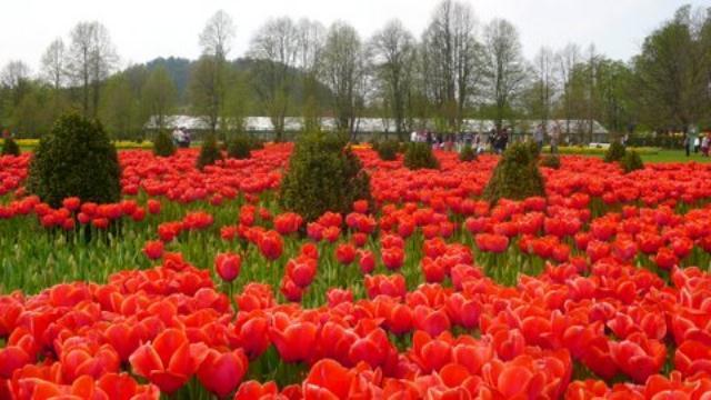 polja crvenih tulipana