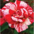 Floribunda Papageno,visina cca 110 cm, miris