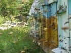 Pčele na bagremovoj paši