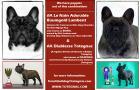 New Totegnac litter! DOB: 11/4/2014