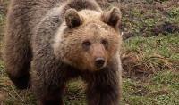 Medvjed usmrtio kravu